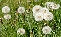Dandelion seed heads 3.jpg