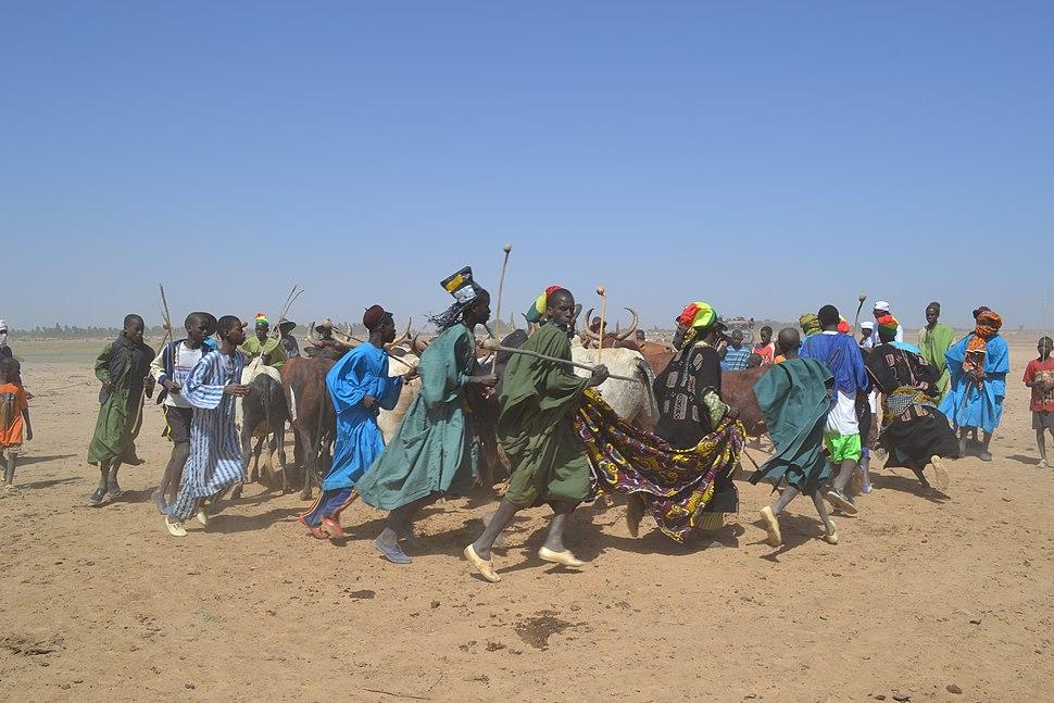 Danse de peuls avec les bœufs