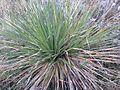 Dasylirion texanum TX Ft Stockton fh - Kopie.jpg