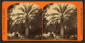 Date tree in Dr. Peck's garden. St.Augustine, Fla, from Robert N. Dennis collection of stereoscopic views 2.png