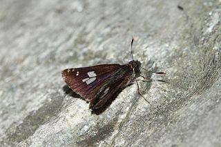 <i>Thoressa masuriensis</i> species of insect