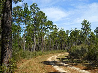 De Soto National Forest - View of a pine forest in De Soto National Forest, Stone County, Mississippi