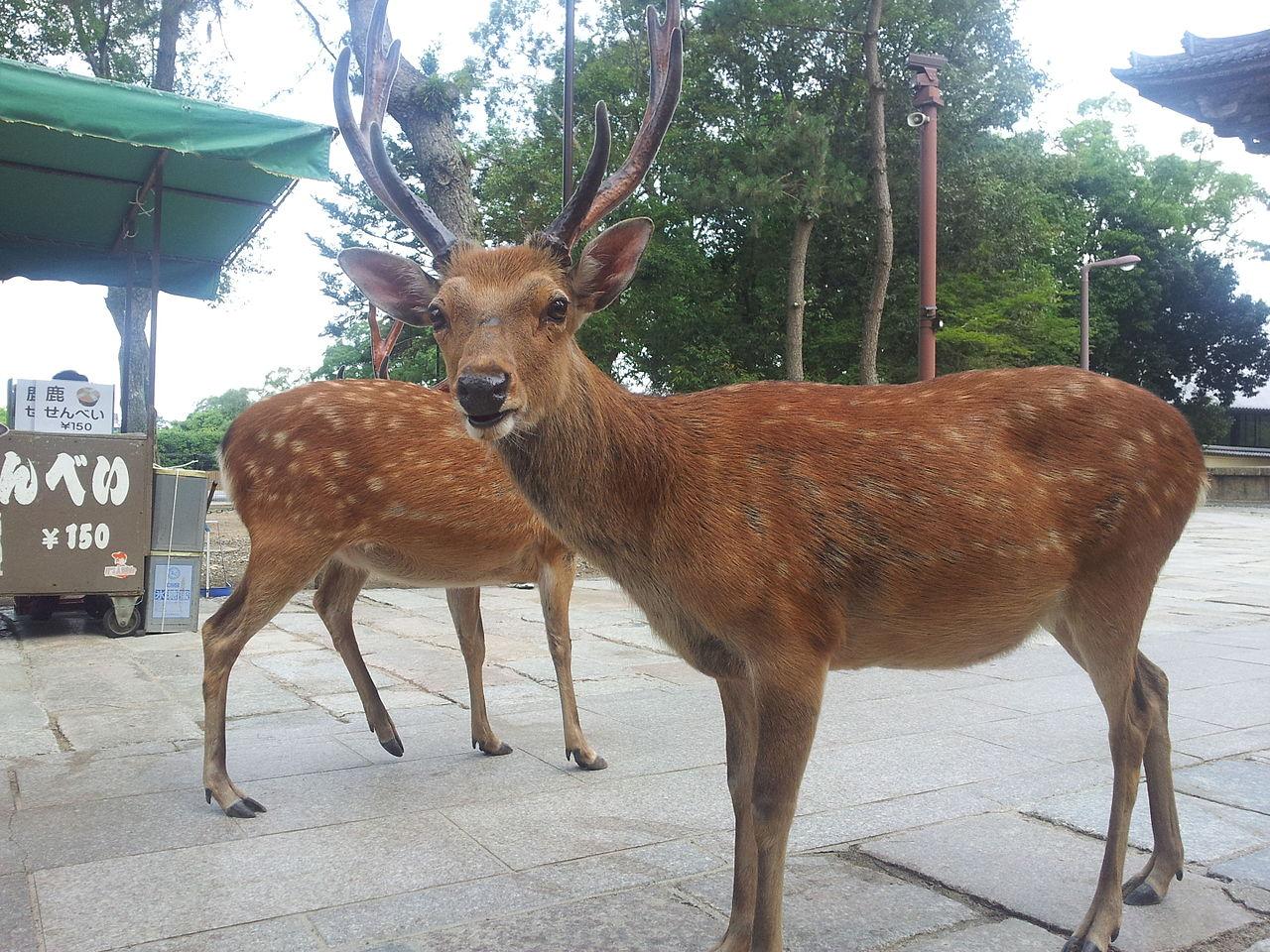 奈良公園のかっこいい鹿