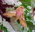 Deilephila porcellus. Small Elephant Hawk-moth - Flickr - gailhampshire (1).jpg