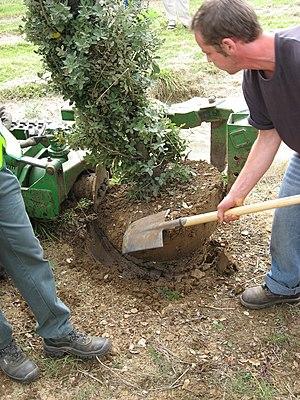 Français : Démonstration de démottage d'arbre ...