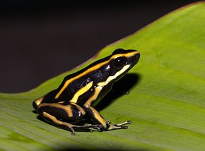 Description de l'image Dendrobates truncatus02.jpg.
