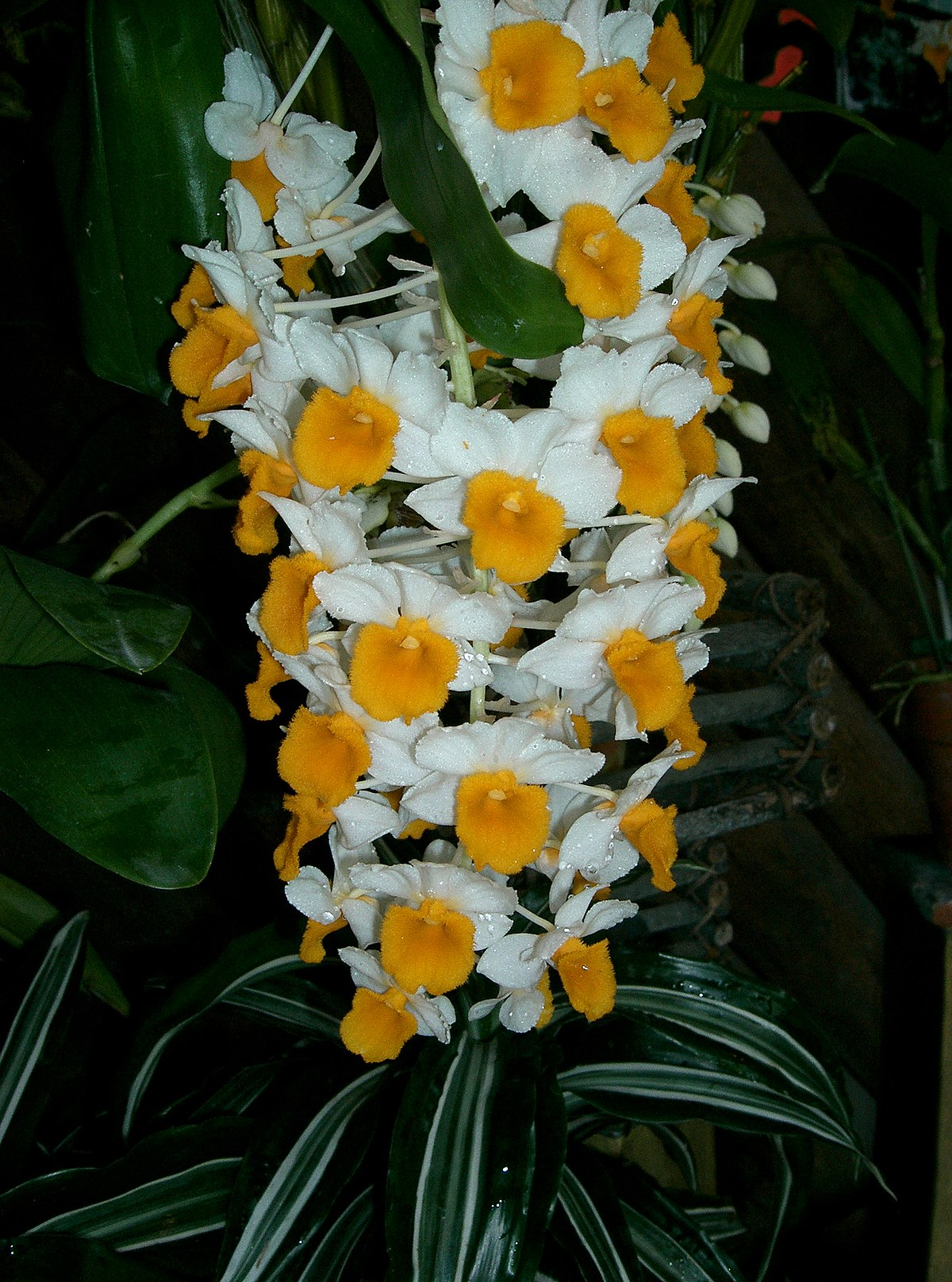 Pinecone Dendrobium Thyrsiflorum Wikipedia