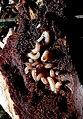 Dendroctonus micans larva.jpg