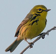 Prairie warbler - Wikipedia, the free encyclopedia