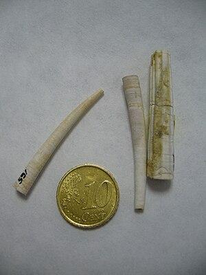 Dentalium (genus) - Image: Dentalium sp.1 Plioceno