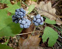 Dewberry fruits 2009 G1.jpg