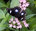 Diadem Butterfly (4867239384).jpg