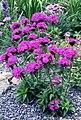 Dianthus barbatus 2.jpg