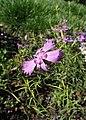 Dianthus chinensis kz01.jpg