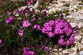 Dianthus sylvestris PID1875-1.jpg