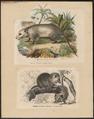Didelphis virginiana - 1700-1880 - Print - Iconographia Zoologica - Special Collections University of Amsterdam - UBA01 IZ20300080.tif
