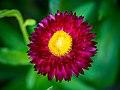 Die Strohblume, lat. Helichrysum bracteatum, Xerochrysum bracteatum, Bracteantha bracteata 05.jpg