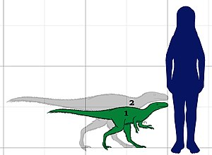 Dilong (dinosaur) - Size comparison between Dilong and a human.