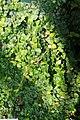 Dimocarpus longan 7zz.jpg