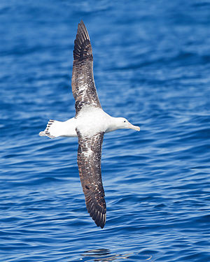 Wandering albatross - In flight