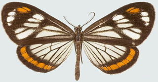 <i>Dioptis</i> genus of insects