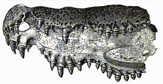 2010 in archosaur paleontology - Mandibular remains of Diplocynodon