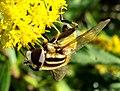 Diptera- Syrphidae- Helophilus trivittatus (2764334622).jpg