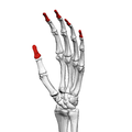 Distal phalanges of the hand (left hand) 03 ulnar view.png