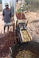 District Ermera, Subdistrict Letefoho, Suco Goulolo. Coffee being processed.jpg