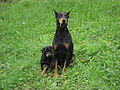 Dobermann and puppy.jpg