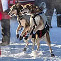 Dogsled, Alaska 2018 013-0 (40595338121).jpg
