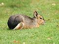 Dolichotis patagonum (resting).jpg
