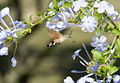 Dominiqs81 - Insect Hummingbird (by).jpg