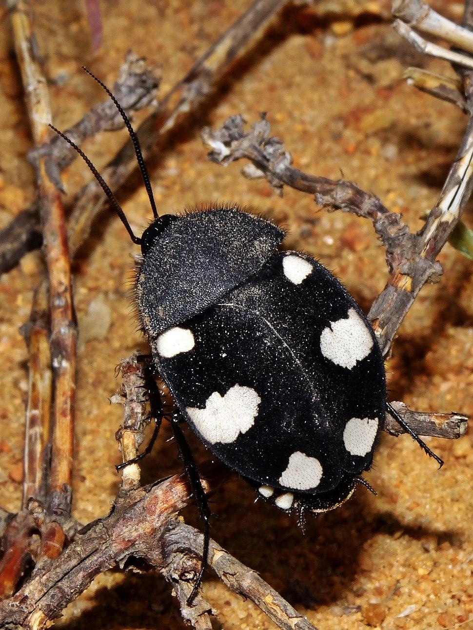 Domino cockroach Therea petiveriana
