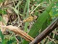Dragonfly at Rajbiraj, Saptari, Nepal (4).jpg