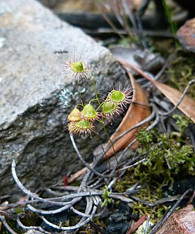 Drosera huegelii imported from iNaturalist 19 May 2019.jpg