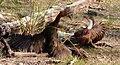 Dryolimnas cuvieri 2.jpg