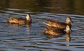 Ducks (8043598262).jpg