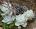 Dudleya farinosa 4.jpg