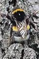 Duisburg 08.05.2017 Buff-tailed Bumblebee - Bombus terrestris (34776105726).jpg