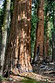 East Fork Grove Sequoias.jpg