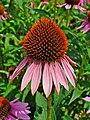 Echinacea purpurea 002.JPG