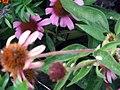 Echinacea purpurea Magnus 0zz.jpg