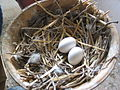 Eggs of homing pigeon.JPG