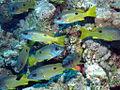 Ehrenberg's Snapper, Lutjanus ehrenbergi at Dangerous Reef, St John's reefs, Red Sea, Egypt -SCUBA (6329681020).jpg