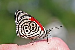 Eighty-eight Butterfly (Diaethria anna).JPG