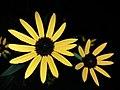 Eine gelbe Gartenblume (2).jpg