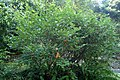 Elaeagnus multiflora kz5.jpg