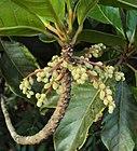 Elaeocarpus tuberculatus Roxb. 11.JPG