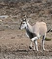 Eland (Taurotragus oryx) male (31806400023).jpg